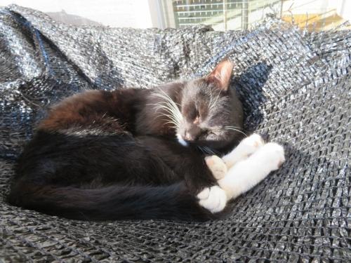 白靴下を履いた黒猫ちゃん♪、屋外メダカ用遮光ネットの上でお昼寝ちゅ~♪2020.11.17