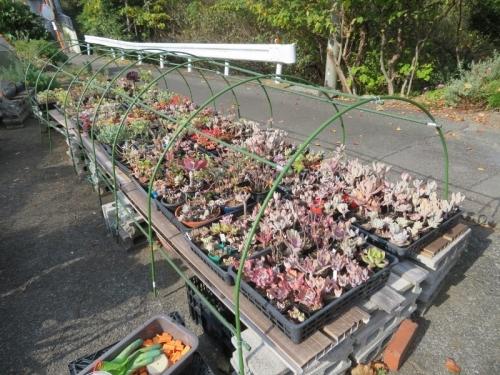 多肉植物温室、低い簡易ビニールハウスのフレーム補強&ビニールの取り換えしています。2020.11.18