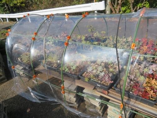 多肉植物温室、低い簡易ビニールハウスのフレーム補強&ビニールの張替え、キレイに見えます。2020.11.18