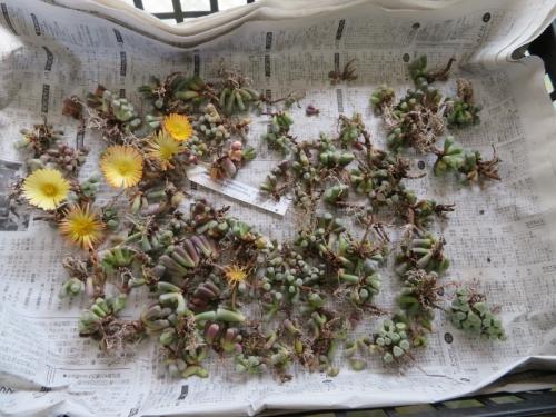 フェネストラリア・ベビートゥ掃除して乾かしていた苗、植え付けて無くても咲いています♪2020.11.21