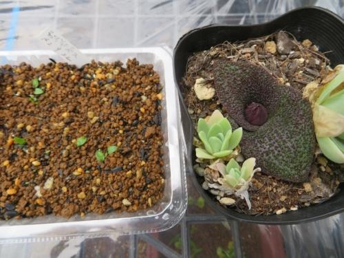 マッソニア・プスツラタ(22020.09.22)実生しました♪2ヶ月弱経過。右はハウス内にひょっこり動いて花芽を上げていた多分親球根。2020.11.17