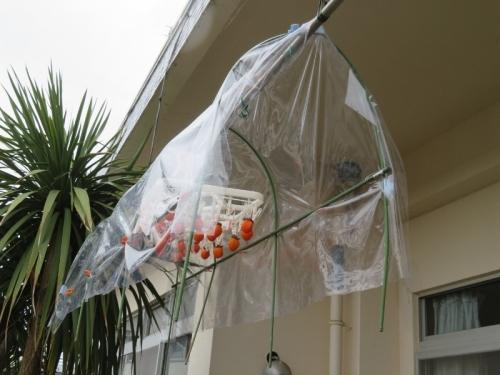 2020年晩秋、干し柿作成ちゅう、小雨が降るので小アーチフレームを180cmに組み雨避けを作ってみました。2020.11.24