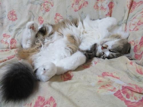 噛み猫イズコちゃん♪寝てま~す♪2020.11.24