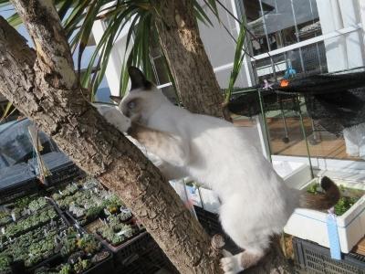 最近、遊びに来るたぶん4月生まれの子猫ちゃん♪ブルーアイズ、コビオくん♂、木登りちゅう~2020.11.26