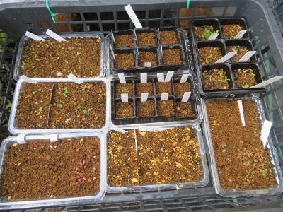 その他のメセン(ギバエウム、ケイリドプシス、プレイオスピロス、オフタルモ、冬型球根(マッソニア)、実生苗いろいろ捲いています。2020.11.26