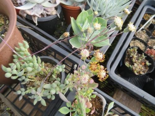 セネシオ・白(寿)聚楽(senecio citriformis)(左)臭く無い花、七宝樹(senecio articulatus)(右)かなりムサ臭いやや黄色い花2020.11.30