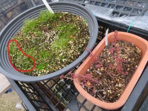 ピレア・グロボーサ、こぼれ種発芽苗の経過、それらし姿に育ってきました。2020.11.30