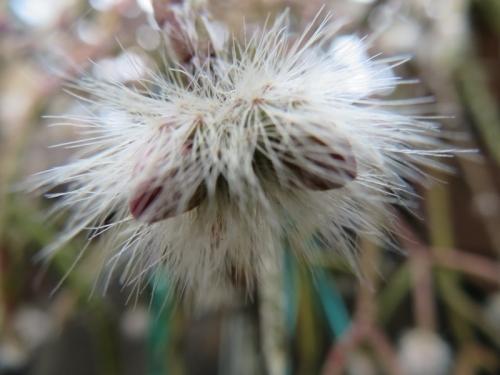 リプサリス・モンキーテール、モシャモシャした白い部分が蕾、今にも咲きそうな暖かさ♪2020.12.01