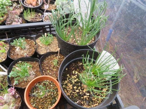 アルブカ・スピラリス フリズルシズル、芽吹きから1ヶ月経過、くるくる葉にも個体差があります。2020.12.02