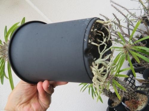 パキポディウム・ラメリー、根が鉢の下からボーボー生えていました。2020.12.02