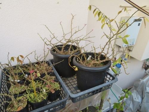 ペレスキア・美葉杢キリン、今年は葉食虫に集られ葉が見な穴あきになりました。殺虫剤を散布しましたがキレイな葉が回復する前にもう12月です。2020.12.02