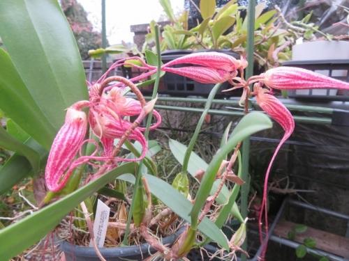 シルホペタラム(バルボフィラム)エリザベスアン ハックルベリー、屋外、ビニールかけていない観葉棚下であらま~咲いていました。2020.12.03