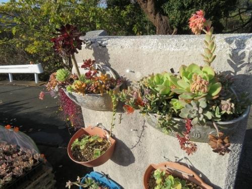 壁掛け多肉寄せ植え♪エケベリア・ピーチプリデの花も咲いたり、カラフルです♪2020.12.04