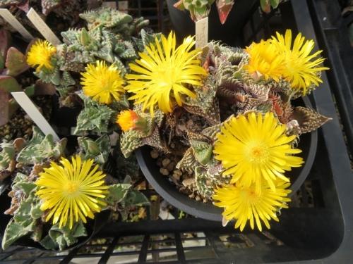 フォーカリア・超怒涛(獅子波)、ぐにょぐにょイガイガです。開花し始め~♪2020.12.04