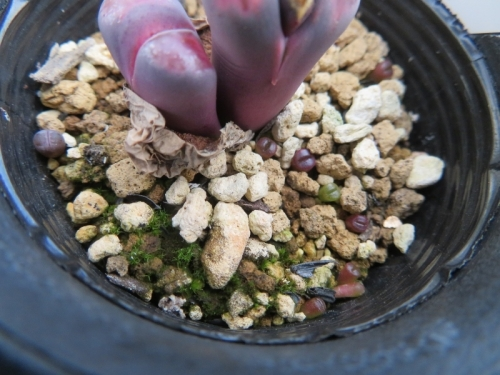 リトープス・バッカス(紫李夫人)およっと見ると、なんとこぼれ種発芽しています\(^o^)/♪確かに紫♪2020.12.04
