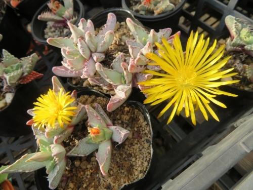 フォーカリア・大麗波(青白葉、白点筋模様)咲き始め~は小さな花ですが咲き終わりに近づくと花びらが伸び大輪花になります♪2020.12.04