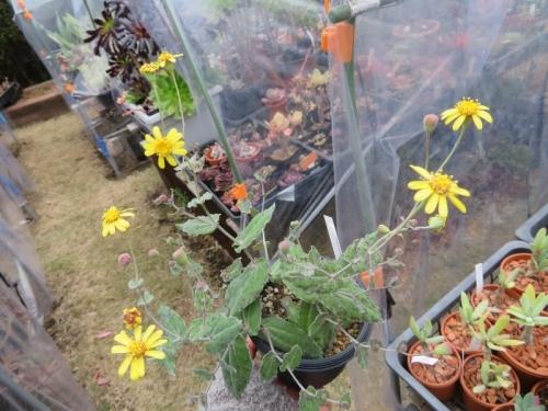 オトンナ・パーフォリアータ、塊根、あっという間に葉が茂り可愛い菊花が満開です♪2020.12.03