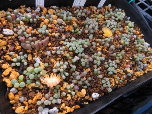 フェネストラリア・ベビートゥ、2020.11.21、バラバラにして水はけ良く深植え替え挿し木しました。②よく乾くので水やりしました。開花中♪2020.12.06