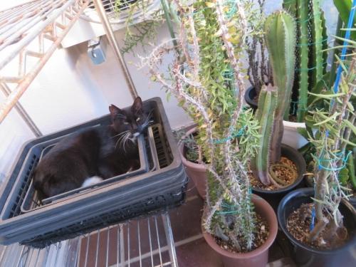 白靴下を履いた黒猫ちゃん♪閉じたハウスの中が暑すぎて軒下に出て育苗バットで涼み中♪2020.12.06