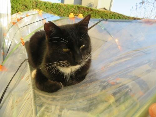 白靴下を履いた黒猫ちゃん♪、ビニールハウスの上で日向ぼっこ♪2020.12.07