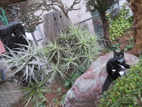 まだ屋外、木に吊るしているチランジアと白靴下を履いた黒猫ちゃん♪2020.12.08