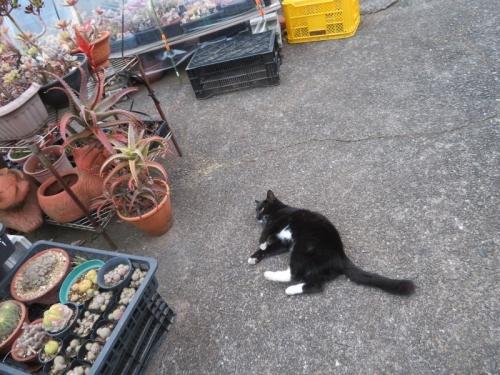 白靴下を履いた黒猫ちゃん♪駐車場で転がります♪2020.12.08