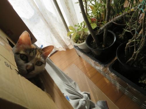 三毛富士子ちゃん♪模様替え(植物で室内取り込み)でダンボール箱の位置が変わりました♪2020.12.10