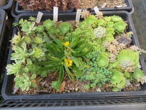 アエオニウム・愛染錦、明鏡、夕映え、挿し木苗の中にこぼれて育ったグロッチフィルム、黄花が咲いています♪2020.12.10