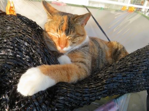 野良三毛子ちゃん、遮光ネットの上がお気に入り、昼寝中♪202012.11