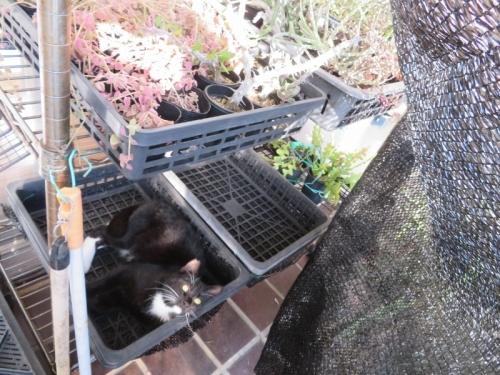 軒下花台に下で休憩中♪白靴下を履いた黒猫ちゃん♪2020.12.011
