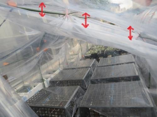 簡易ビニールハウスの内側にもう1枚ビニールを張れば、空気の層ができ軒下効果で凍結しないかも知れない。2020.12.12