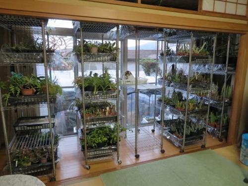 防寒作業、寒さに弱い植物(ユーフォルビア、ガガイモ、ミニパインアップル、パキポディウムなどなど)室内日当たる縁側、暖房部屋へ取り込みました。2020.12.13