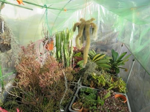 防寒作業で軒下簡易ビニールハウスに取り込んだ観葉植物いろいろ(リプサリス君子蘭チランジアユーフォルビア洋ランハートカズラ、ハオルチア他2020.12.15