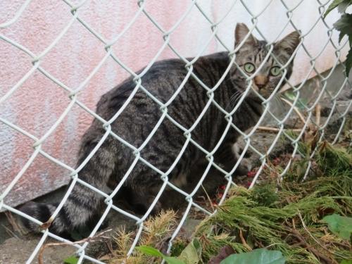 近所の野良ネコちゃん、ガサゴソ音がするので覗いてみると、黒が2匹キジトラが1匹いました♪2020.12.18