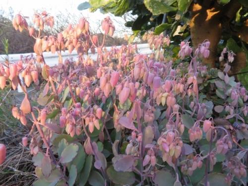 カランコエ・胡蝶の舞(錦)このところの低温にもまだ凍らず、花芽がたくさん上がっています♪2020.12.18