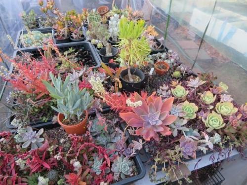 多肉植物いろいろ♪ハウス内でも寒暖差、寒さに当たり水切れてカラフルに紅葉中♪2020.12.18