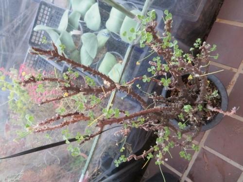 オギザリス・ギガンティア親株、虫がいるでしょうか三つ葉が食われているように茎しかありません?2020.12.18