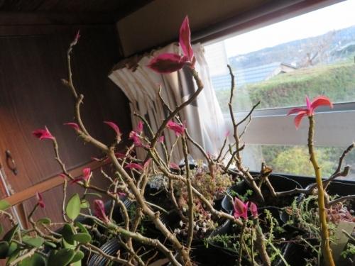 ペレスキア・美葉杢、室内に取り込むときは寒さに落葉していましたが、暖房部屋でピンクの新葉が出てきました。2020.12.21