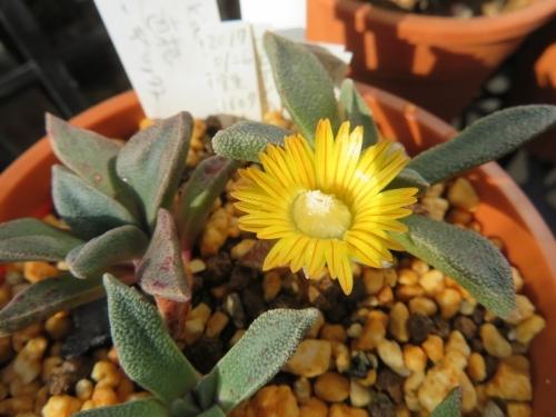 ナナンサス・マルガリティフェルス黄色花(Nananthus margaritiferus.)2020.12.23