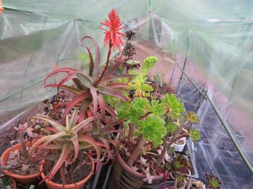 斑入りアロエの紅葉と開花、アエオニウム緑葉タイプの花芽♪2020.12.24