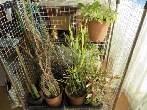 ペニオセレウス、ディディエレア、ユーフォルビア、プレクトランサスなど、室内暖房部屋に取り込んだ多肉植物。2020.12.23