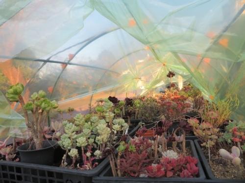 多肉植物、防寒作業、簡易ビニールハウスに2重内張ビニールを張りました。霜避け。2020.12.26