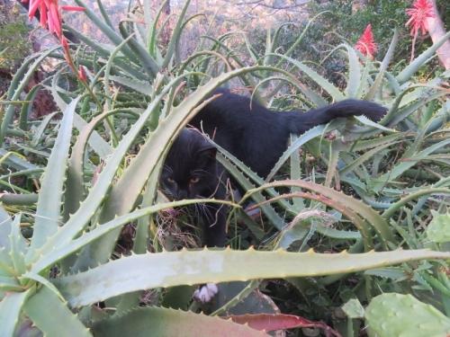 アロエの森に潜る♪白靴下を履いた黒猫ちゃん♪2020.12.26