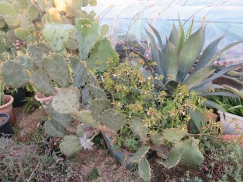 鉢植えのアガベを地面に置いて1年10か月経過、根付いてしまい巨大化しています♪2020.12.26
