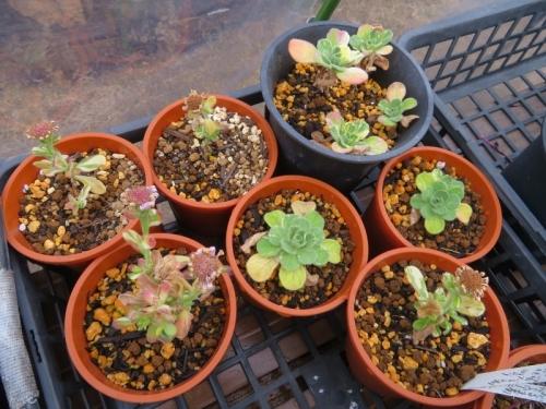 斑入りダルマ菊、今年、挿し木しで増やしました。開花して花柄残っています。種子ができるでしょうか。2020.12.27