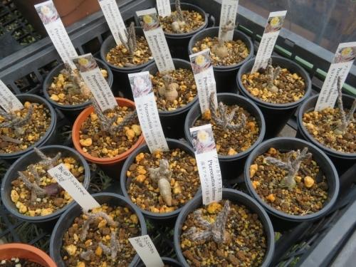 プテロカクタス・黒竜、地道に挿し木苗、真冬でも茎節は元気に茂っています。2020.12.27