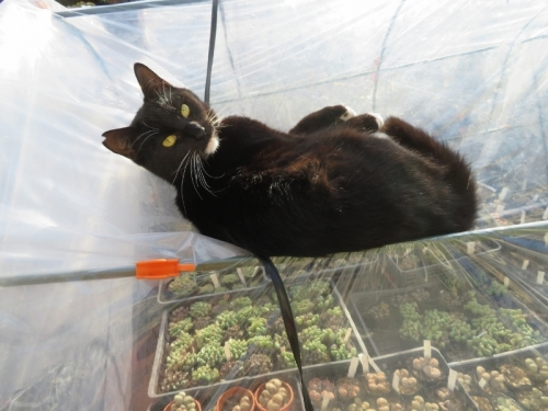 メセン簡易ビニールハウスのたわみでくつろぐ、白靴下を履いた黒猫ちゃん♪2020.12.28