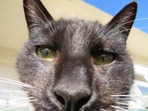 白靴下を履いた黒ちゃん、今年4月、庭で生まれ元気に育っている野良猫です。2020.12.31