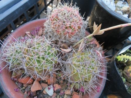 エキノケレウス・ポリアカンサス(多刺蝦、赤花)Echinocereus triglochidiatus ssp. polyacanthus)2012年5月入手、 高山性、縮んでいます。2021.01.02