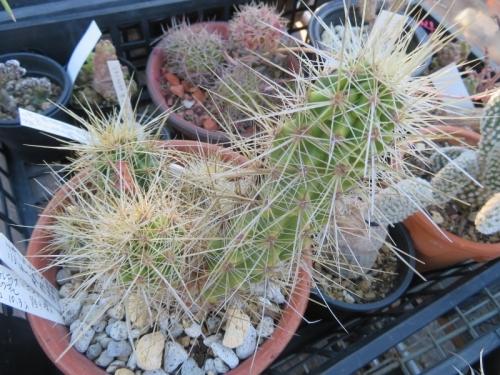 エキノケレウス・ニコリイ(Echinocereus nicholii)2020年10月入手。低地性、米アリゾナ、シルバーベル山地。
